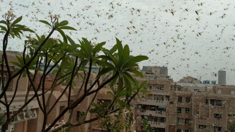 Gurugram locust attack