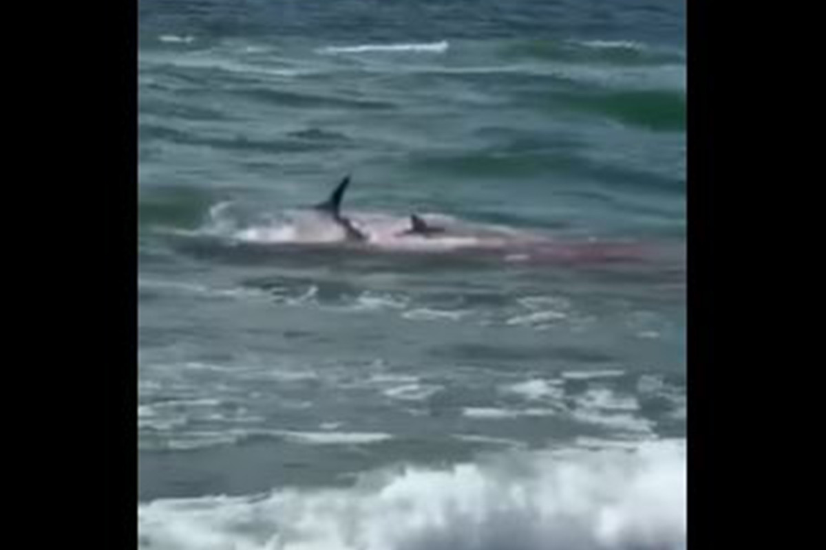 Bloodbath unfolds on Jersey Shore as sharks attack dolphin