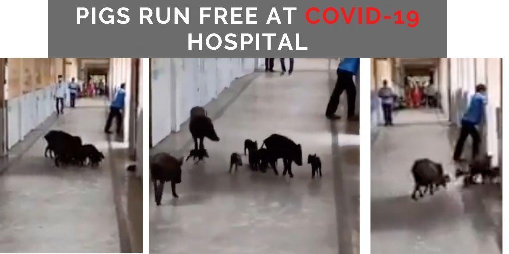 Indian COVID hospital has pigs roaming around; video goes viral, draws backlash