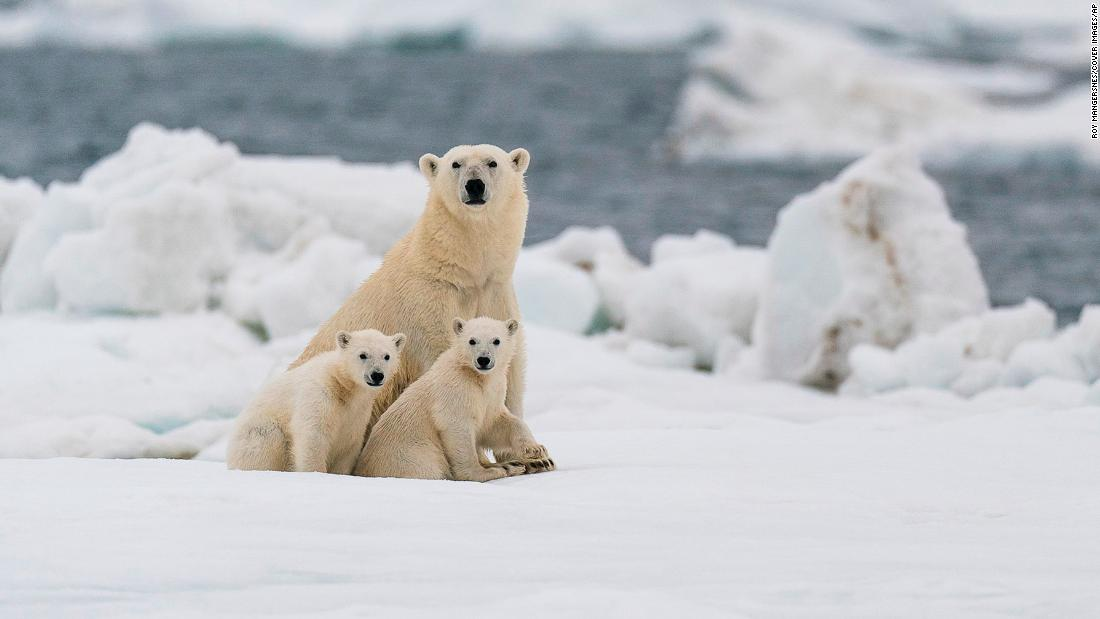 Polar bears: Most could struggle to survive in the Arctic by 2100, study finds