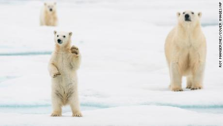 A polar bear cub is shown in Svalbard, Norway. A new study finds that polar bears in most regions of the Arctic could struggle to survive beyond 2100 if humans do not reduce greenhouse gas emissions.