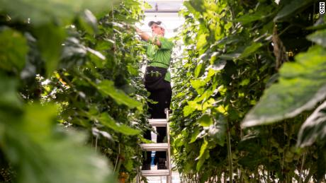 Tie Warner, a vertical harvest worker, is in charge of picking and pruning hundreds of tomato plants on the indoor farm.