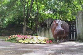 Thai Zoo Celebrates Hippopotamus' 55th Birthday