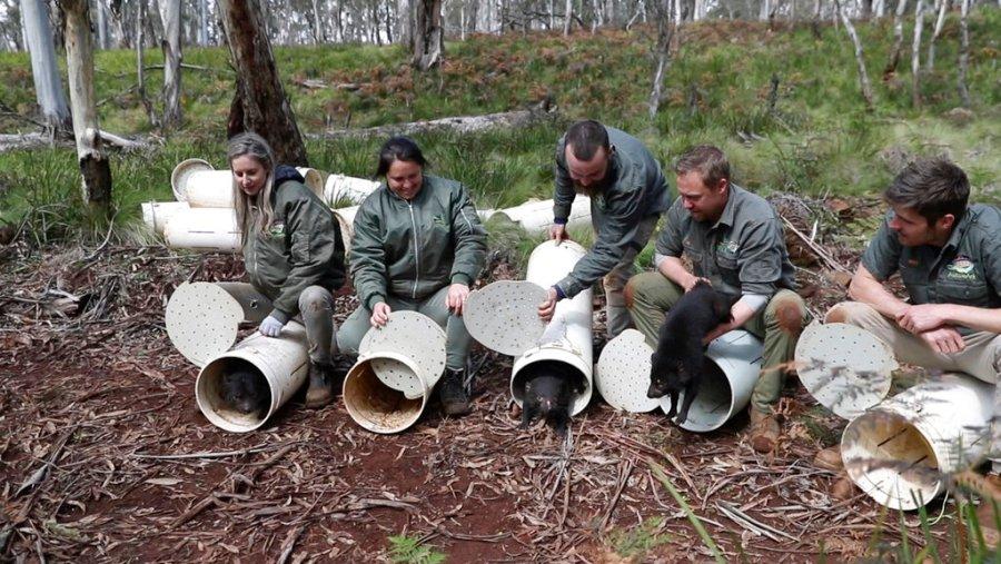 On September 10, 2020, Tasmanian demons were released into the wild in Barrington Top, New South Wales, Australia.  (Via Christian Prieto / Wild Arc AP)