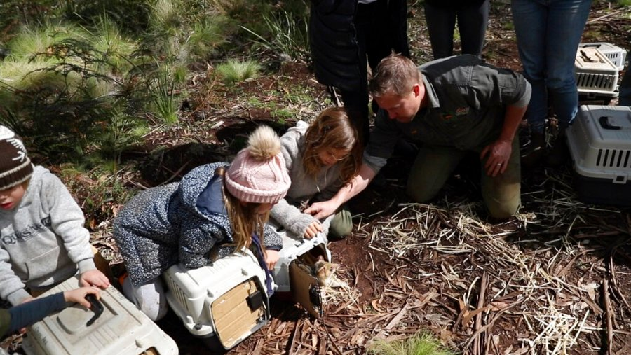 September 10, 2020 Children help to free Tasmanian demons from Barrington Tops in the state of New South Wales, Australia.  The Tasmanian demons, the terrifying marsupials who rose to prominence from representation in cartoons, have recently returned to Australia for the first time.  About 3000 years.  (Via Christian Prieto / Wild Arc AP)