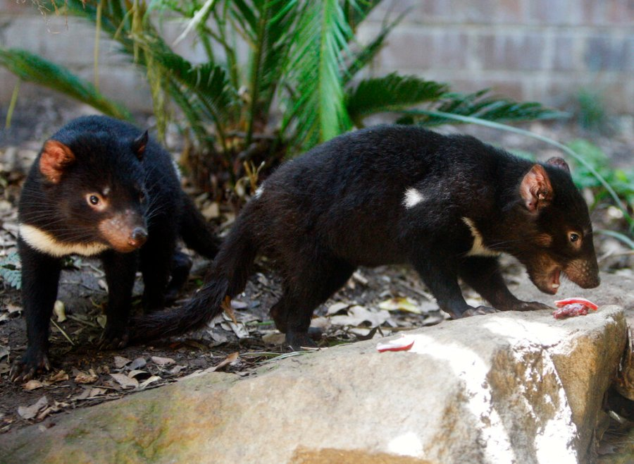 Tasmanian devil children search for food in 2009 during a feeding at the Taronga Zoo in Sydney.  (AP Photo / Mark Baker, file)