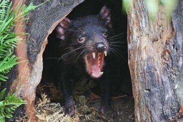 3,000 years later Tasmanian devils reappear on Australian mainland