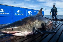 A 2,000-pound large white shark has been found near Miami