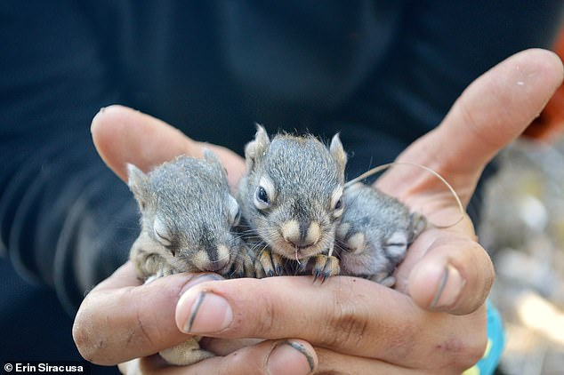The researchers examined the rat's survival rate and breeding success - counting the number of puppies for males and the number of puppies that survived their first winter of mating.  Picture, three Annan puppies