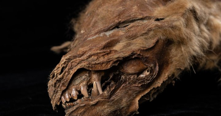 The 57,000-year-old wolf puppy was found frozen in permafrost in Canada