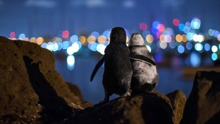Award-winning photo of a widowed penguin comforted by city lights |  Nature