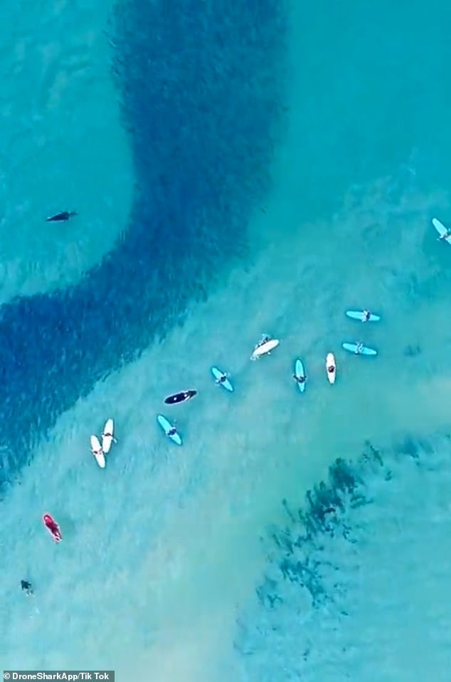 Footage of a seal swimming between surfers and a salmon school (pictured) goes viral