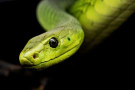 If a snake accidentally bites, will it die?  Find it