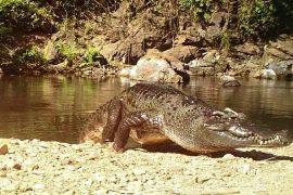 Le crocodile a mordu la victime à la tête, l