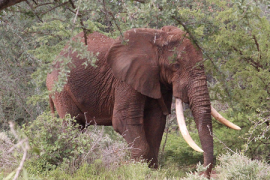 Man stabbed to death by elephant in Kenya - 01/04/2021