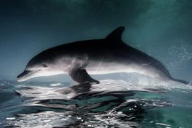Putin blames dolphin for disappearance in Ireland