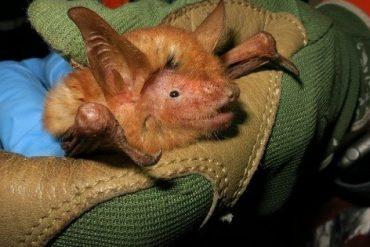 Scientists discover new species of orange bat - News