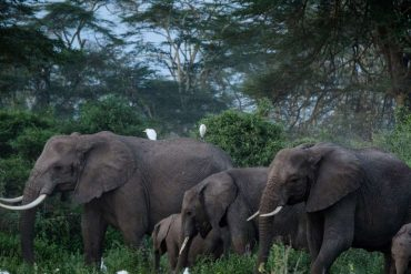 African elephants are threatened with extinction