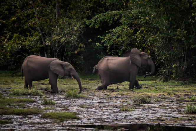 Wild elephants in 2017 at the Oddusala-Cocoa National Park (Congo-Brasaville).