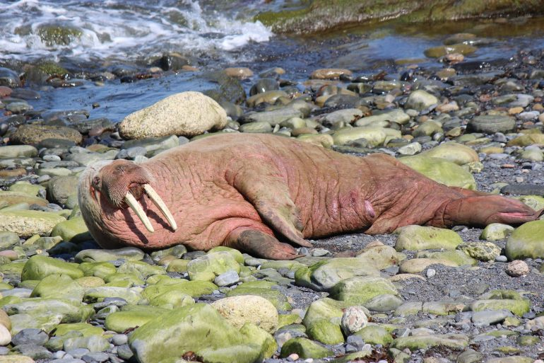 After sleeping on the iceberg, the walrus ends up in Ireland