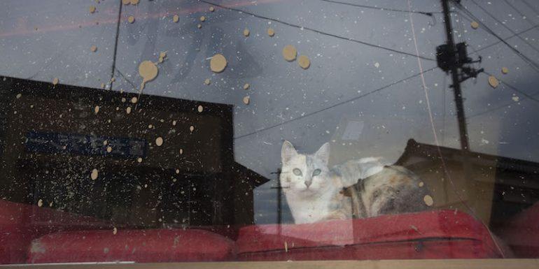 Caring for Fukushima cats