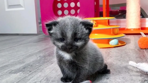 Thanks to the incubator and the foster mother for the cat that was born with