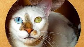 Bowie, the cat with different eyes and the most real fur in the world