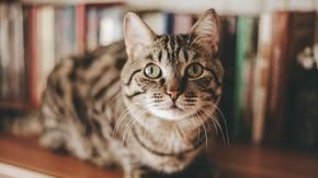 Learning English: Cats 'behavior can be a mirror of their owners' personality