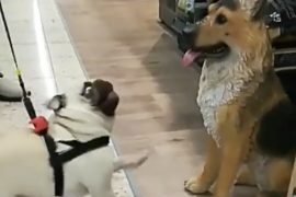 Pug portrayed a comic attempt to make friends: he did not realize that the dog was a fake