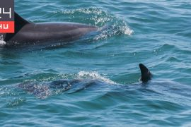 Dolphins raising other animals' calves were photographed