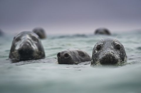 Group of gray seals
