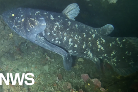"""""""Living Fossil"""" Koilakanth surprises again: Giant fish turns 100, gestation lasts 5 years"""