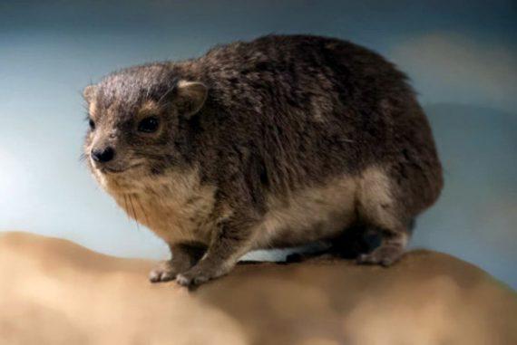 New mammal found in Africa: its nocturnal 'bark' disturbs