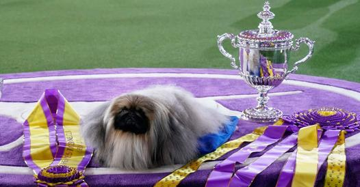 Pekingese Wasabi - Corriere.it is the most beautiful dog in New York, USA