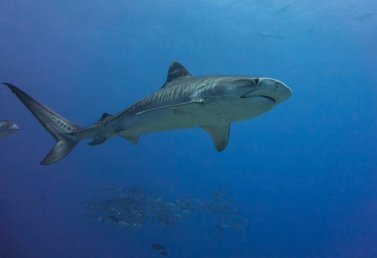 """Scientists have found that sharks """"share time for food"""" to seek good luck and avoid evil and sustainable catches 