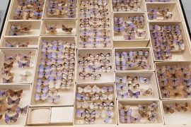 Butterfly collection shows endangered species in the USA Photo: Field Museum