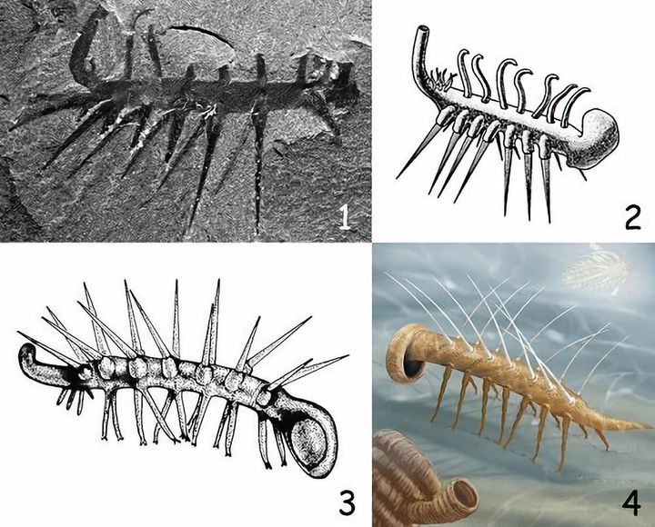 It took 24 years of research for scientists to be able to distinguish between the head and tail of this animal!  - Photo 9.