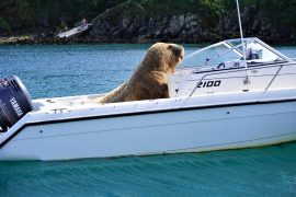 After visiting the UK, Valley Walrus jumps on a speed boat for a nap in Ireland