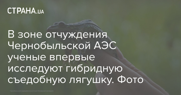 Testing of an edible frog in the exclusion zone of the Chernobyl nuclear power plant
