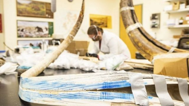 Mammoth fossils in the laboratory, scientist in the lab coat and mask in the background