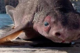 Portofero Navy officials find a shark-like animal with a pig-like face
