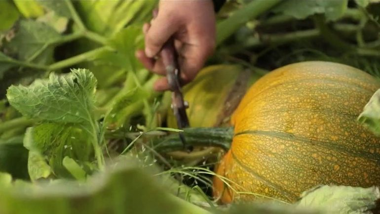 At the heart of the pumpkin harvest