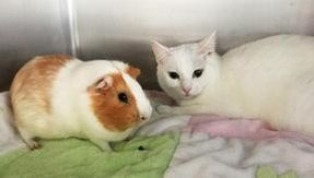 Cat and guinea pig, strange couple looking for a home together