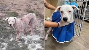 The injured dog reappears a year later and begins a rebirth journey