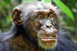 According to research published in nature, leprosy is first seen in wild chimpanzees